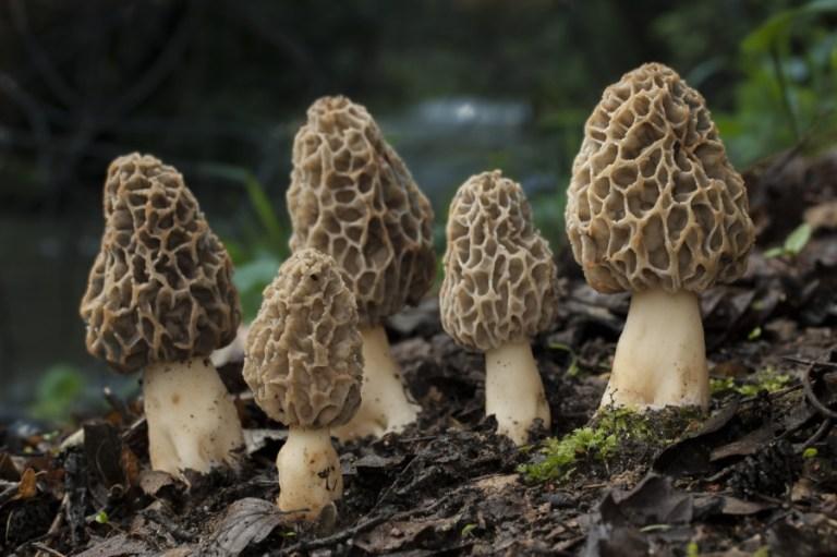 West Virginia Morel Mushroom
