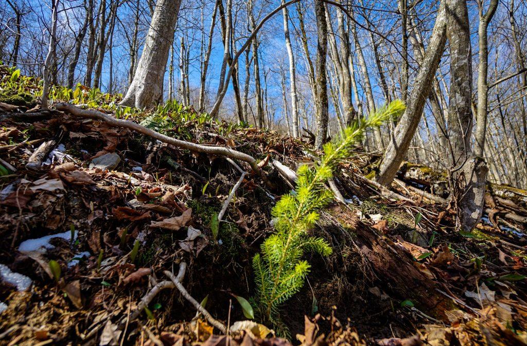 Red Spruce Restoration