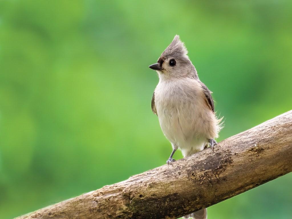 Birding: Tufted Titmouse