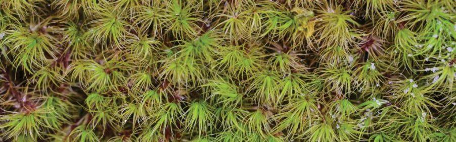 WV Mosses - Windswept broom moss