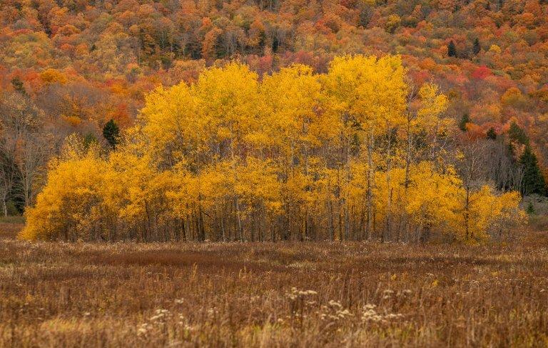 Aspen Trees: Yellow Clonal Stand