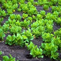 Lettuce being grown between Phakding and Lukla
