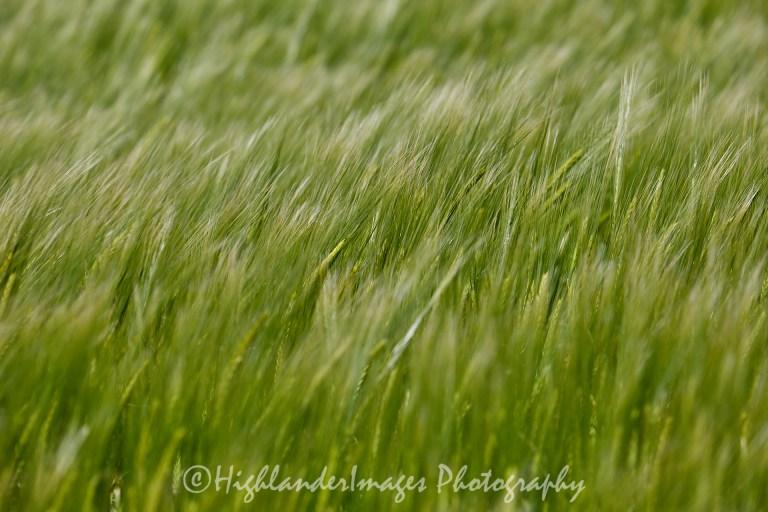Whispering Wheat