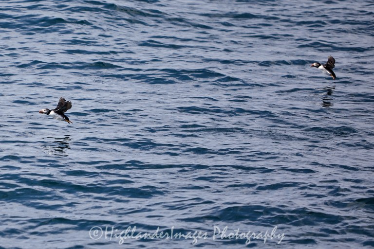 Puffins, Cliffs of Moher