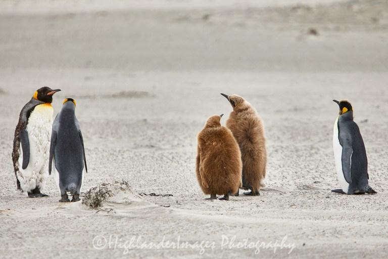 Bluff Cove Penguin Rookery, Falkland Islands