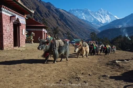 Yaks make their way through Tengboche.
