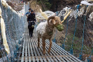 Goat crossing the suspension bridge over the river at the bottom of the steep track from Namche Bazaar on the route towards Phakding.