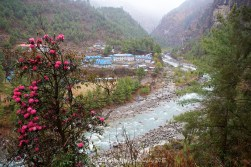 Beautiful rhododendron blossoms with the Dudh Kosi River and Khumbu Valley between Monjo and Phakding.