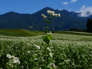 秋晴れの空と八ヶ岳を望む蕎麦畑5
