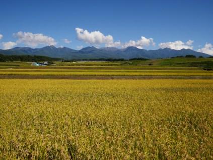 黄金色の景色3