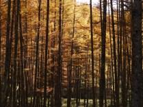 輝く落葉松林へ2