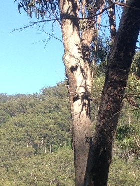 Mountain climbing goanna. Tasty?!