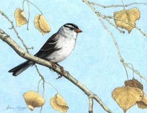 Drawing Class White-crowned Sparrow in Winter