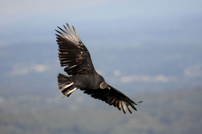 The bird we didn't see - A Black Vulture