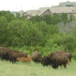 Buffalo herd near Highlands Ranch Colorado