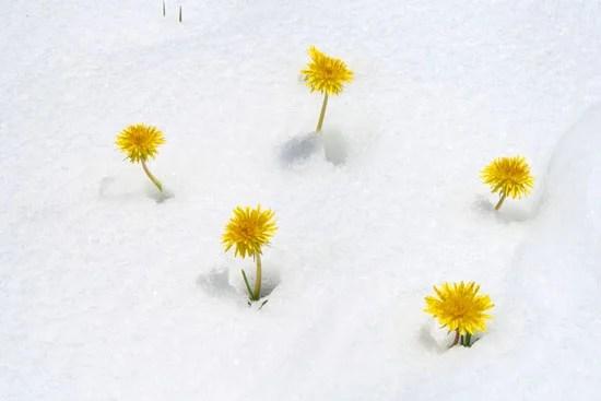 Dandilions in snow