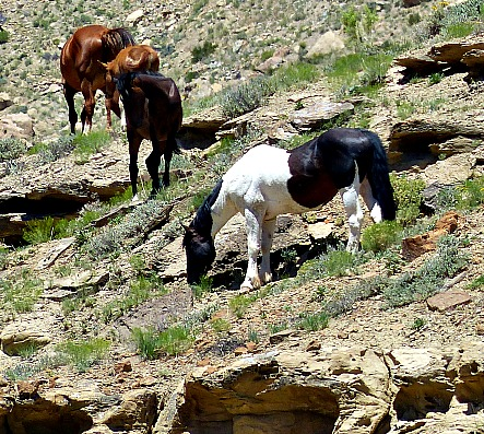 Colorado Wild Horses Grand Junction