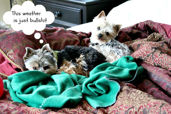Yorkshire terriers in bed