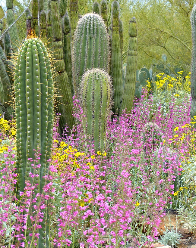 Saguro Cactus and wildflowers an the Sonoran Desert Museum Tucson