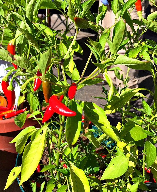 Mirasol Chile Plant with red mirasol peppers growing
