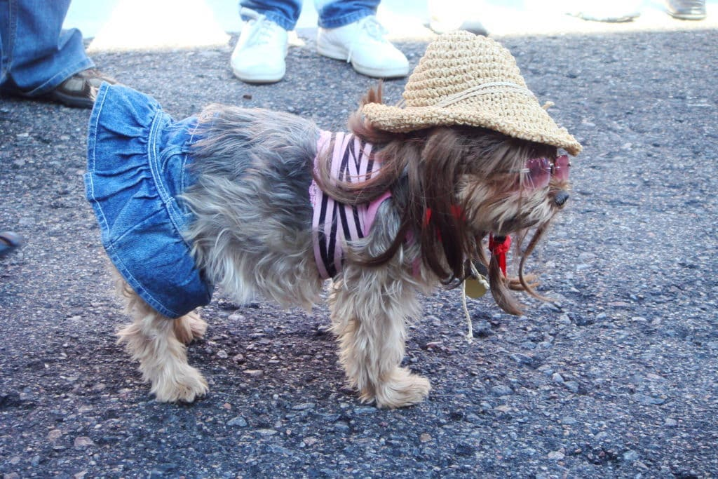 Dog dressed up as Britney Spears for Halloween costume. Short skirt, tank top and fedora. With sequined sunglasses