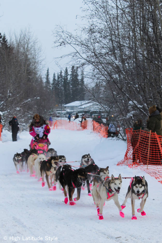 fashionable dogs wearing pink booties on the trail in a long distance dog race
