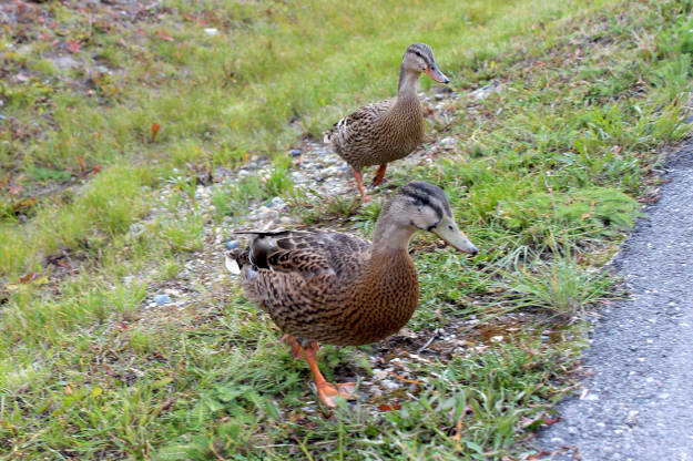 #FocusAlaska #wildlife ducks about to cross our street