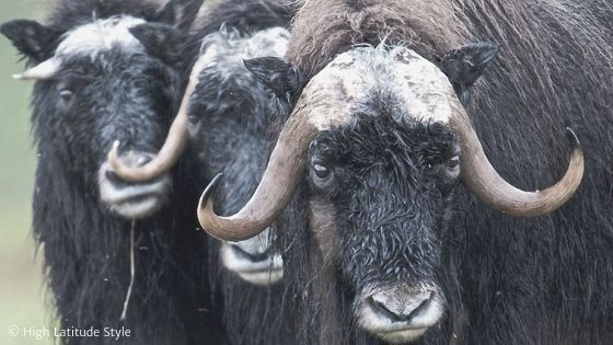 two adult musk oxen and a baby musk ox