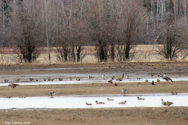 #travel ducks, geese, and sandhill cranes munching seeds on the way back to their nesting regions