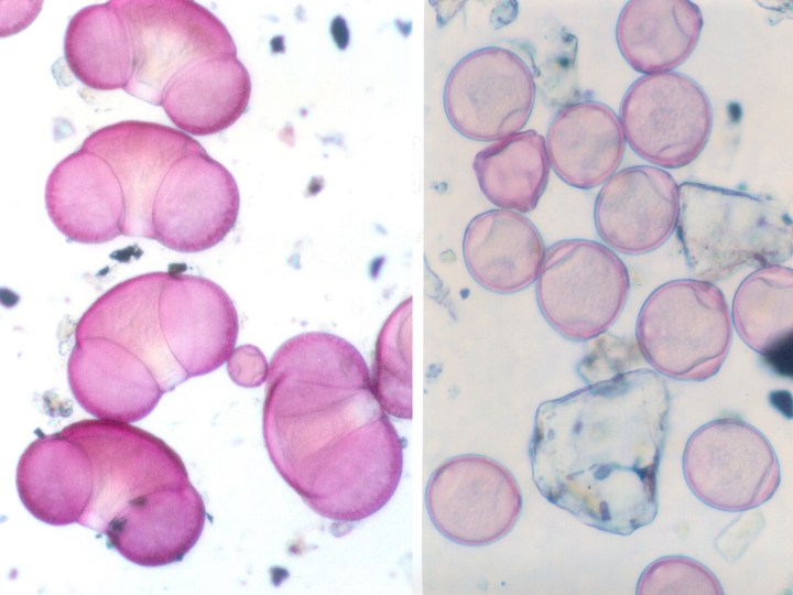 Pollen under the microscope: spruce (left) Birch (right)