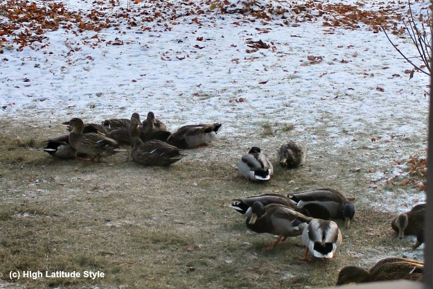 #Wildlife #Alaska ducks in a yard