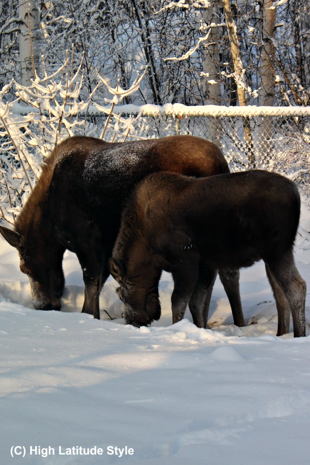 Moose cow and calf searching for food in a garden