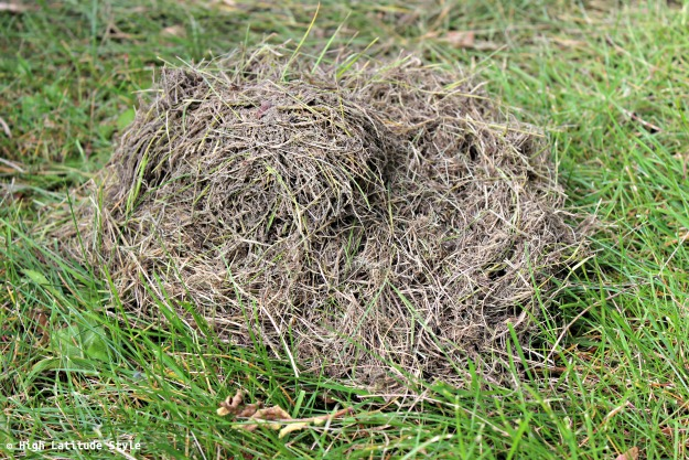 #wildlife dried grass taken off a vole sleeping chamber