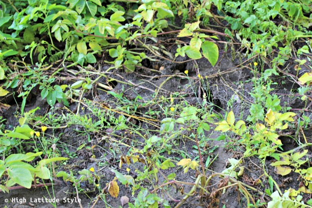 vole wholes in the soil
