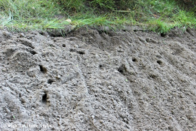 damage by vole wholes in soil