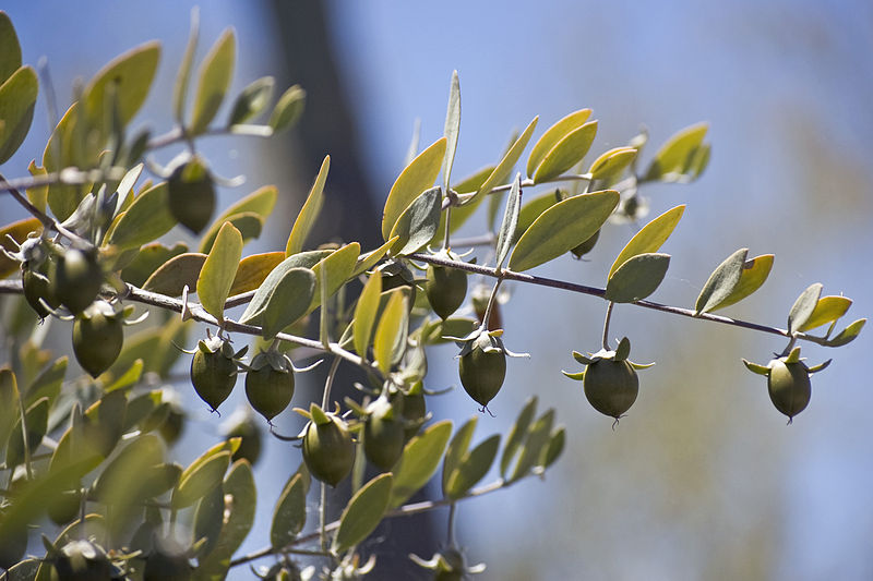 Jojoba plant with seeds