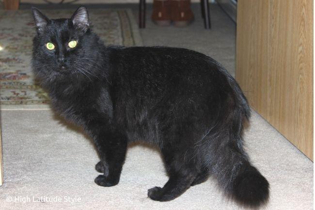 black lonhair male feline BT