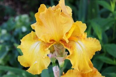 Iris-06