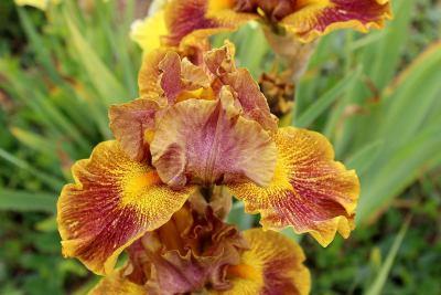 Iris-11