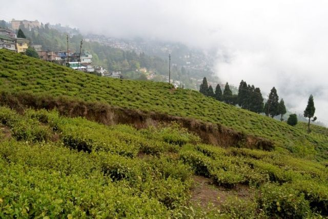 The lush green tea gardens of Darjeeling, which produces the world famous Darjeeling Tea