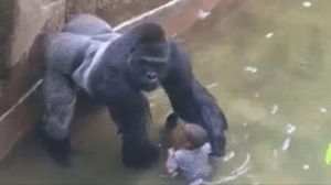 Harambe-..Male-Gorilla-Killed