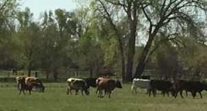 High Plains Beef cattle