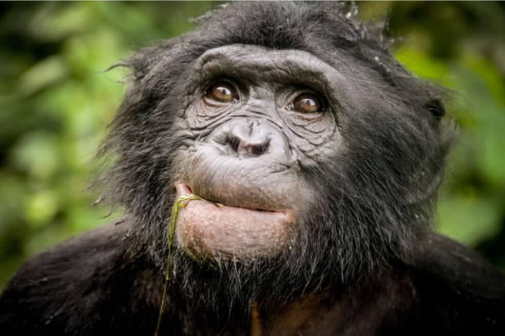 Descubren un nuevo linaje de chimpancé extinto