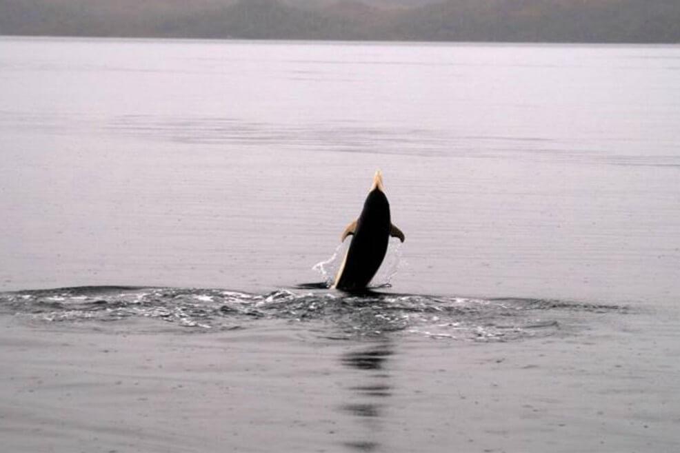 Por primera vez logran fotografiar al exótico delfín liso en aguas del Estrecho de Magallanes