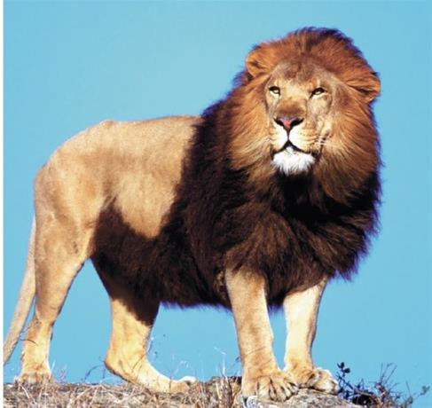 Muere un hombre tras ser atacado por leones en una reserva de Sudáfrica