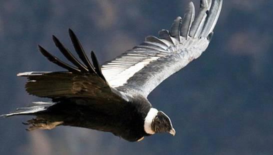El cóndor: Un ave en peligro que sustenta la frágil relación con los Andes