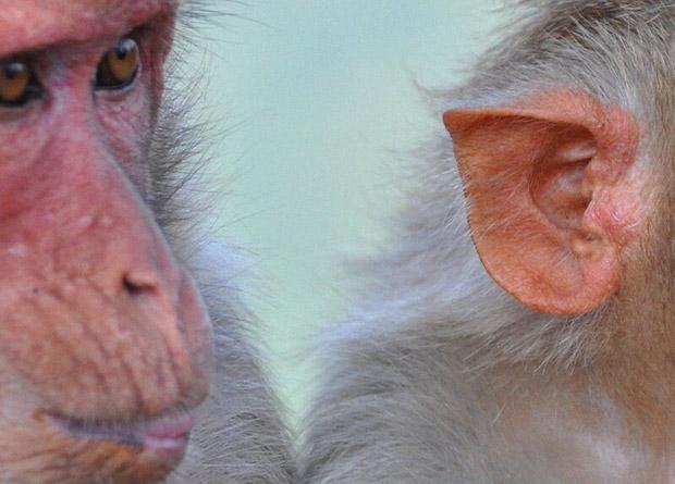 Las amistades fuertes ayudan a prolongar la vida de los macacos