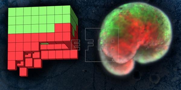 Primeros «robots vivos» a partir de células de rana