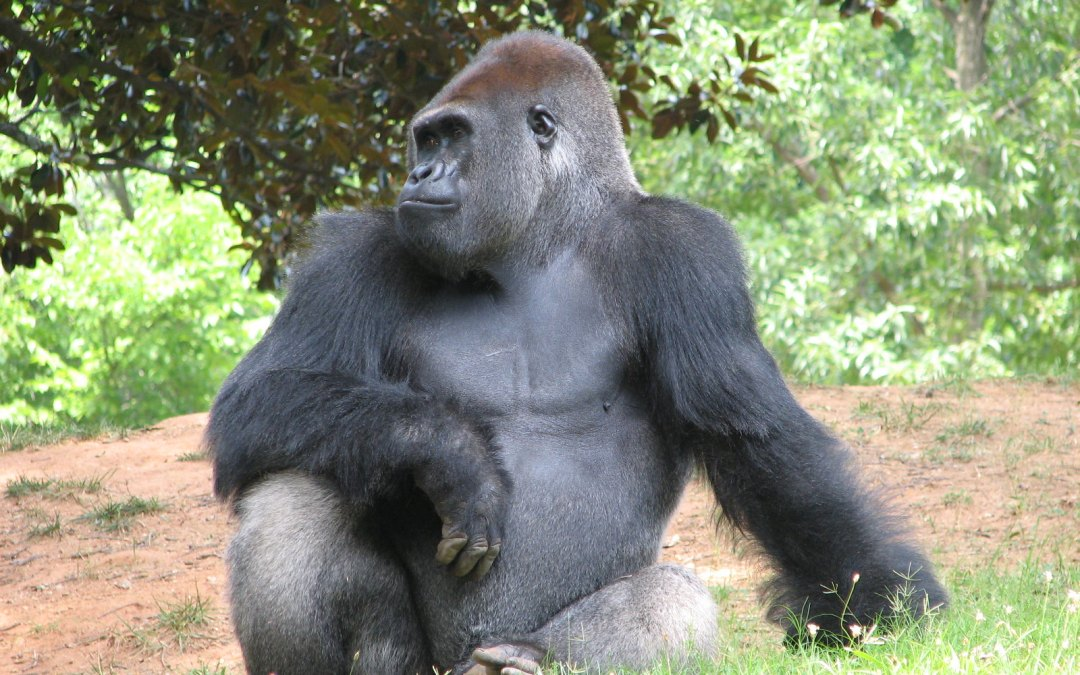 Column: Gorillas test positive for COVID-19 at the San Diego Zoo