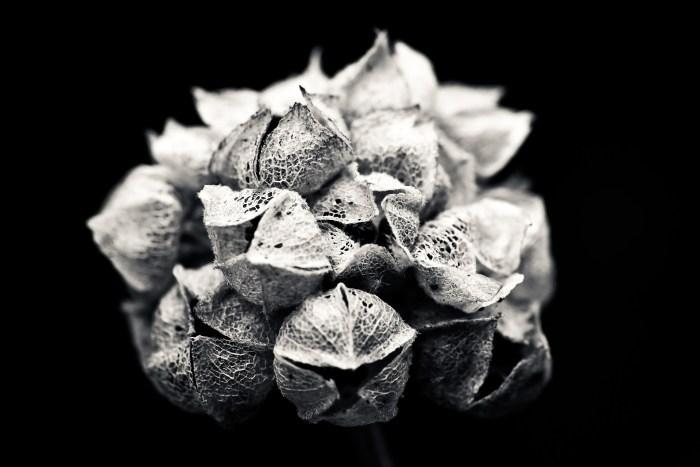 hydrangea-1727813_1920